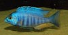Placidochromis sp. electra blue